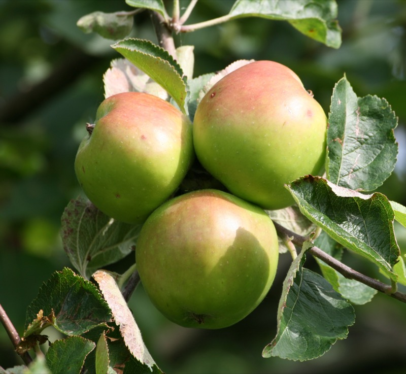 Apples Bramley each