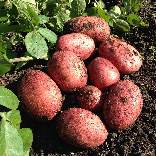 Red Rooster Potatoes - 1kg