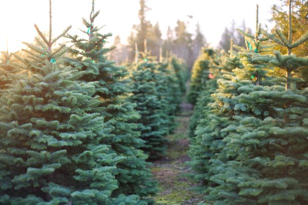 Christmas Trees - Nordman Fir - 6ft - 8ft tall