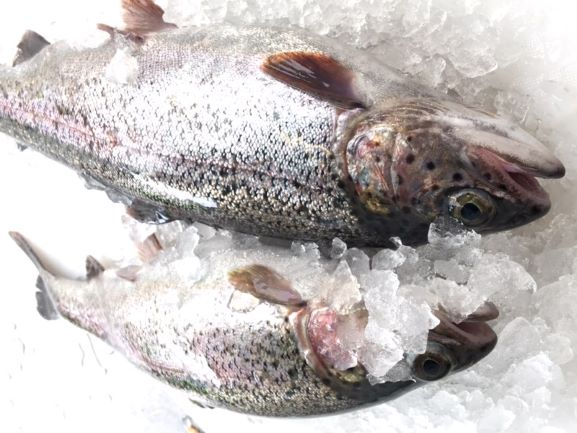 Blakewell's Fresh Trout - Pair