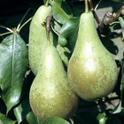 Conference Pears - each
